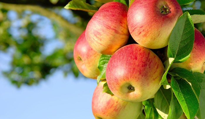 Apple trees can be grown at home