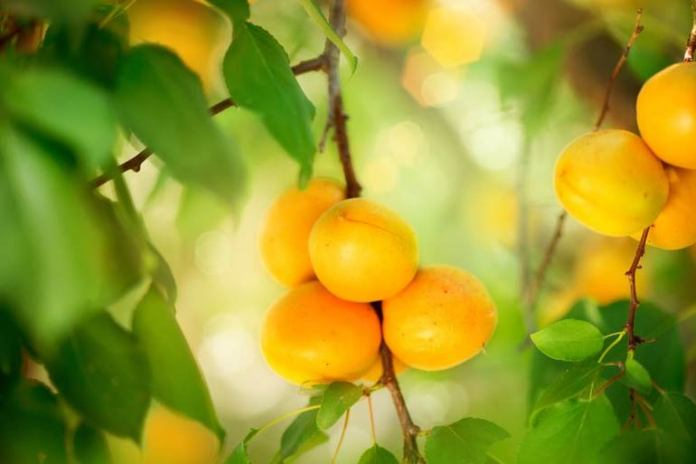 Apricots can help boost iron levels