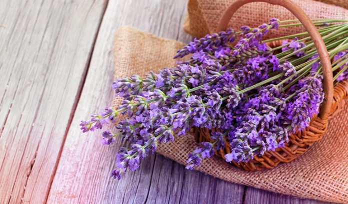 Lavender helps one to relax and reduces stress aiding in weight loss