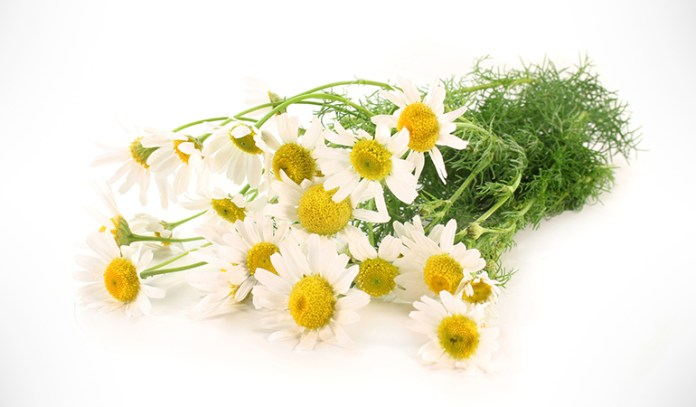Chamomile herb can be grown at home