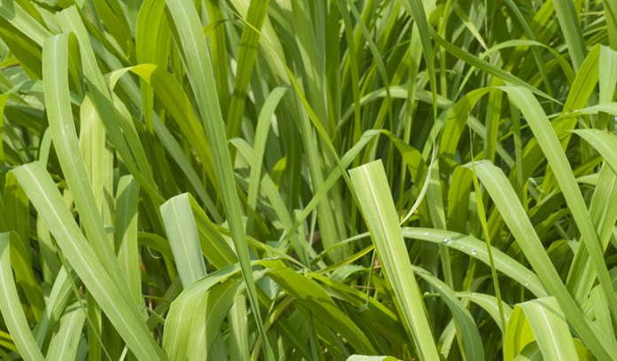 Citronella can be grown at home