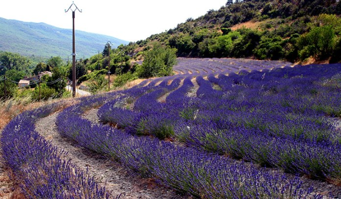 Lavender herb can be grown at home