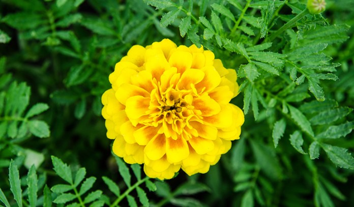 Marigolds don't need much maintenance