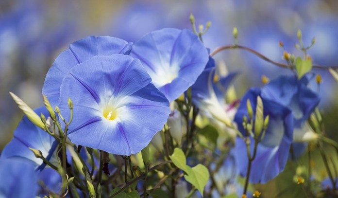 You'll need to soak the seeds of morning glory before sowing.
