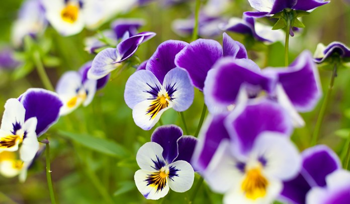 Pansies are small plants that flower quickly
