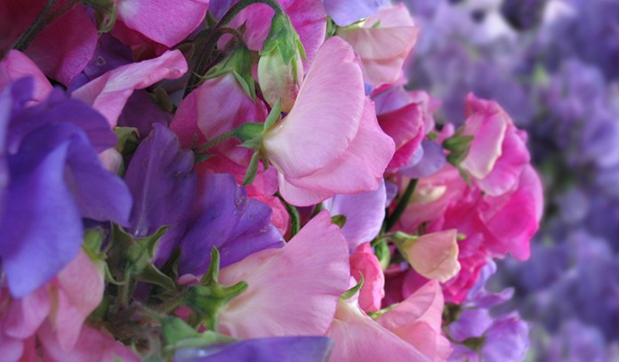 Sweet pea flowers have a wonderful fragrance.