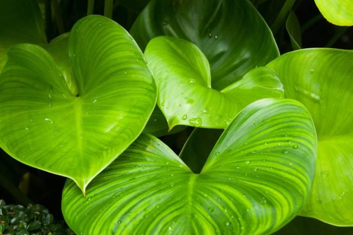 Philodendron Heartleaf can grow in artificial fluroscent light.