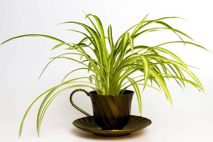 Spider plants are houseplants that survive in poor light.