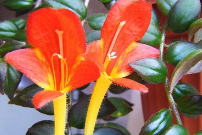 Columnea must be not be exposed to direct sunlight.
