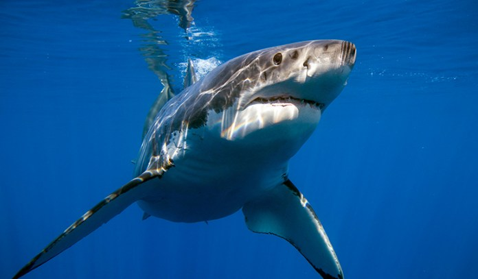 Sharks live off other fish and hence can be contaminated