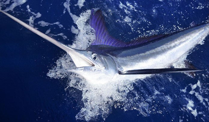 Swordfish are high in mercury as they eat other fish