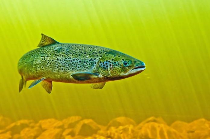 Salmon is <!-- WP QUADS Content Ad Plugin v. 2.0.26 -- data-recalc-dims=