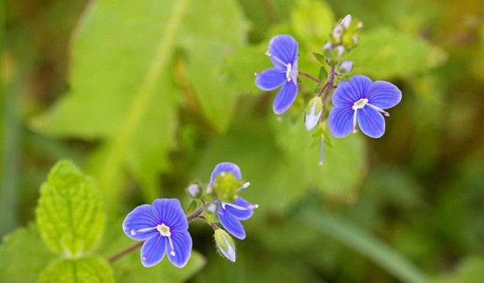 Germander is used in supplements that treat digestion problems and gallbladder conditions