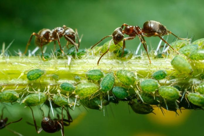 Sprinkling baby powder on plants and leaves can keep ants and aphids away