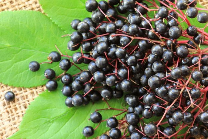 Elderberries Are Rich In Flavonoids That Can Fight The Flu