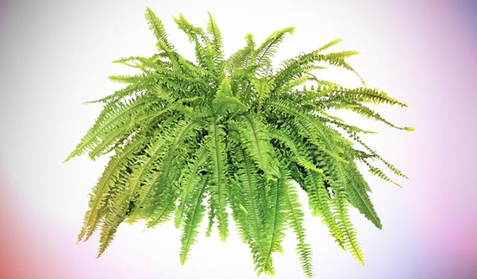 Boston Fern has frilly leaves and long, hanging fronds.