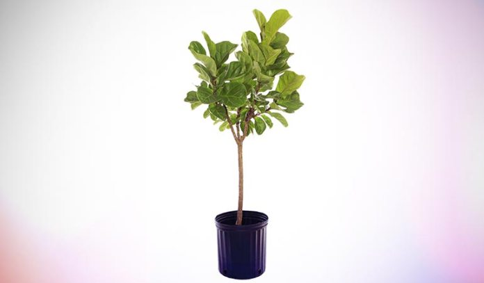 Fiddle Leaf Fig has an eye-catching beauty about it.