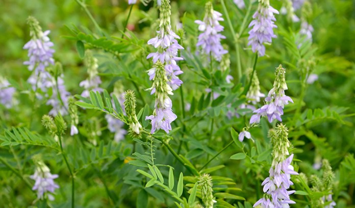 Goat's rue is a popular herb for lactation.