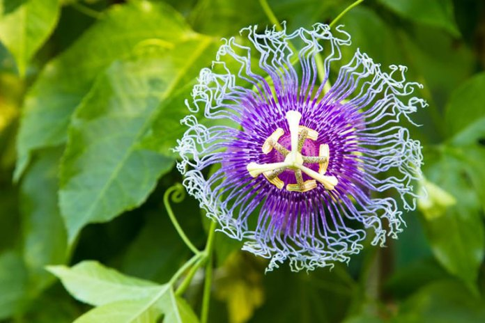 Passionfruit tea reduces anxiety