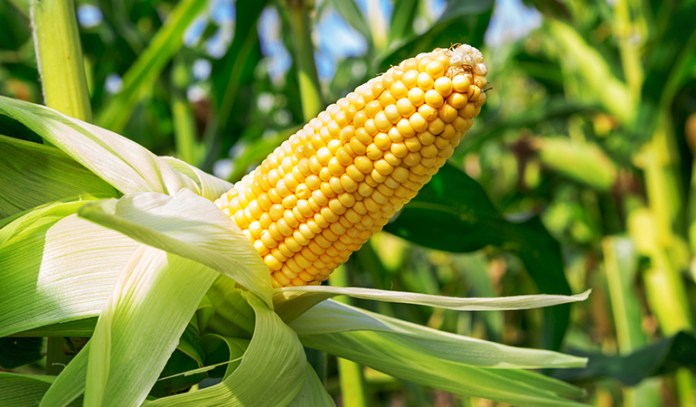 Genetically modified corn may change tissue and cell structure in intestines
