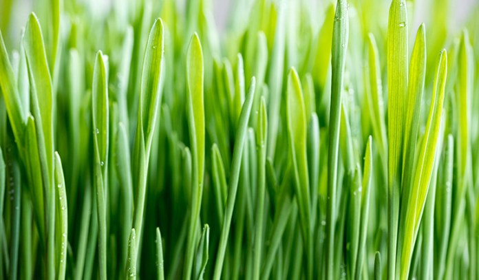 Wheatgrass juice may cause constipation and nausea, and may not be safe for pregnant or lactating mothers.