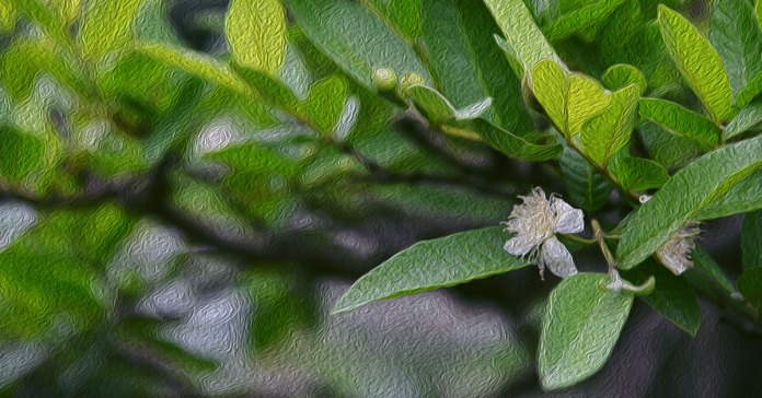 Guava leaves can fight hair loss, dandruff, and premature hair graying.