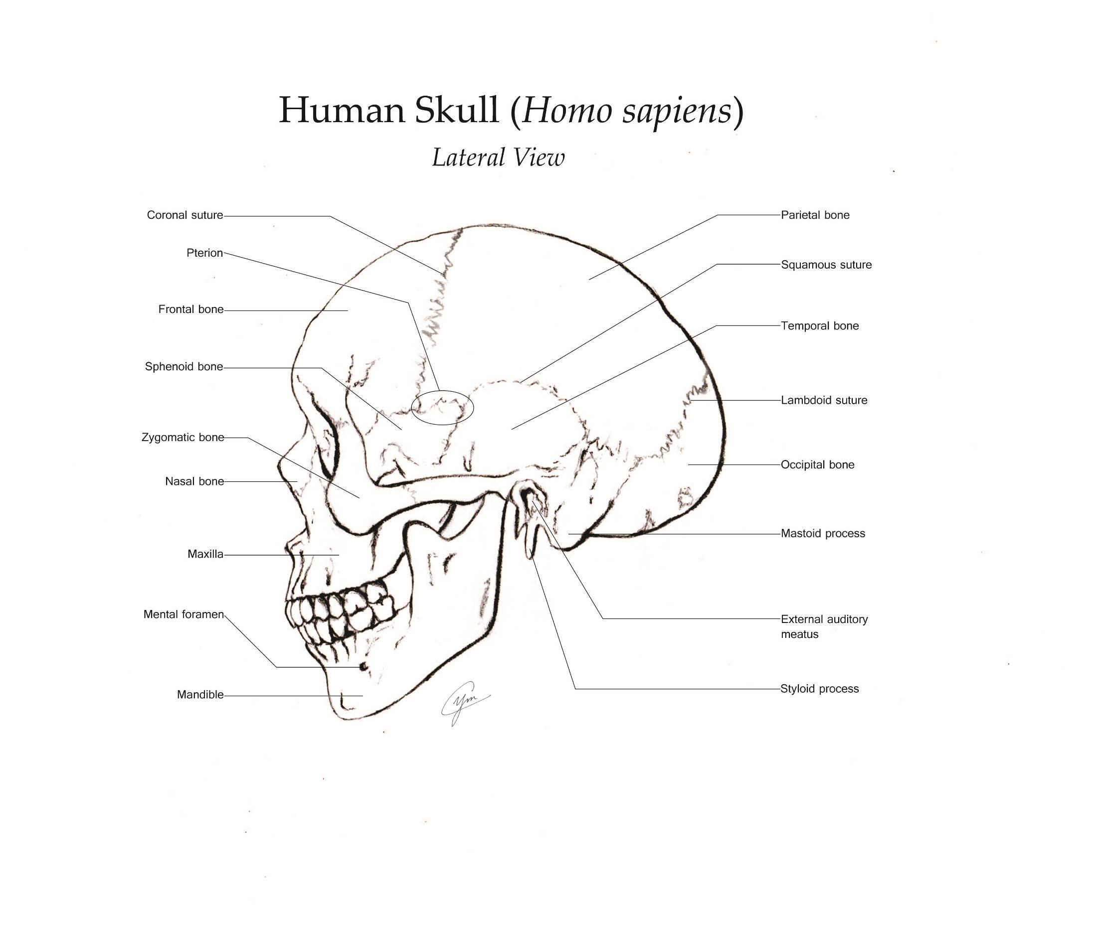 A Skull Study