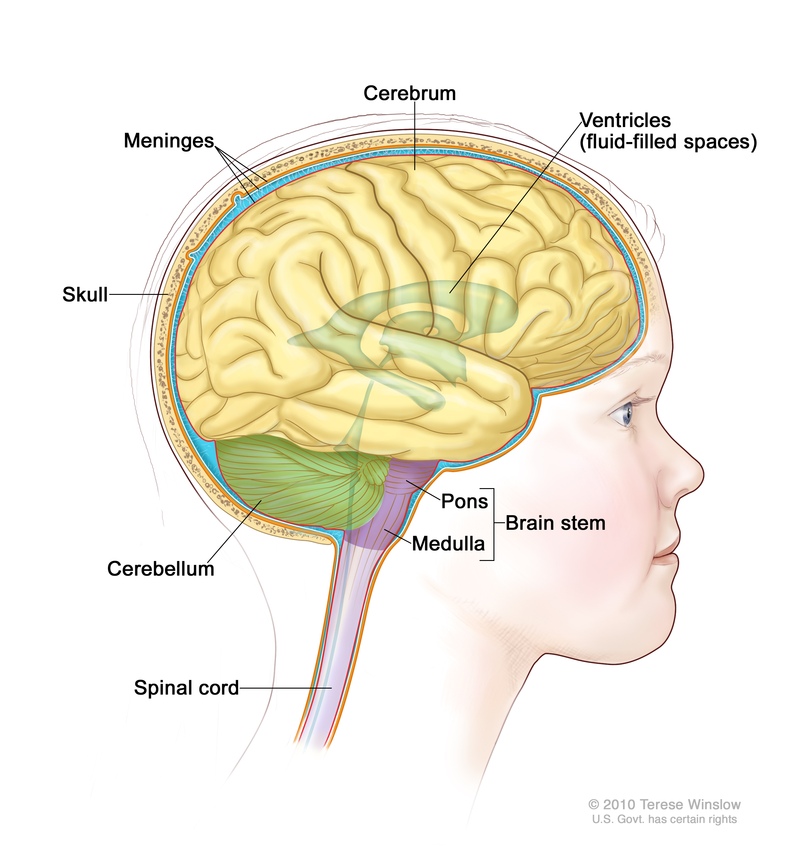 Childhood Brain Stem Glioma Treatment Pdq