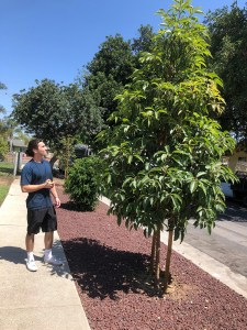 Matt Sheridan (LMU '19) measuring the height of a street tree.
