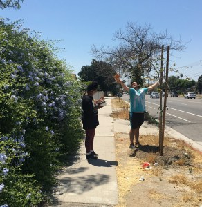 Sarah Bruce-Eisen (LMU '18) and Alex Isaev (LMU '18) measuring the crown radius and recording data on a street tree.