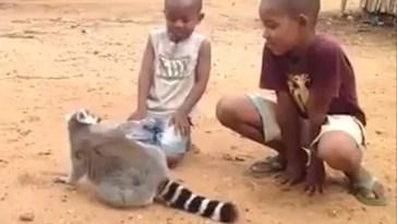 Vídeo de lêmure pedindo carinho a crianças encanta todos que assistem
