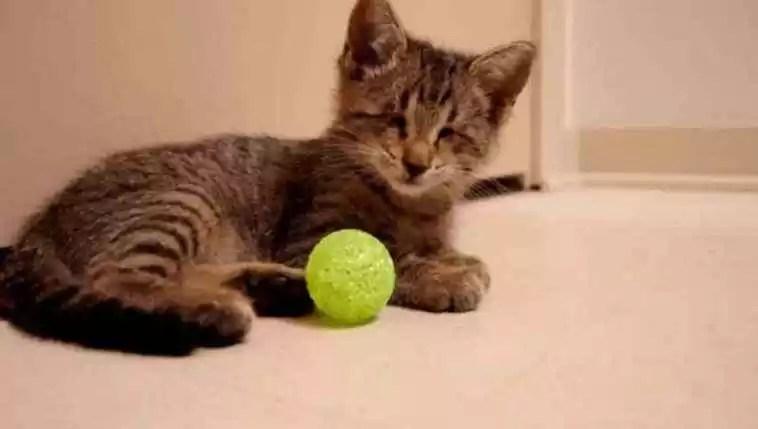 gatinho cego descobre primeiros brinquedos
