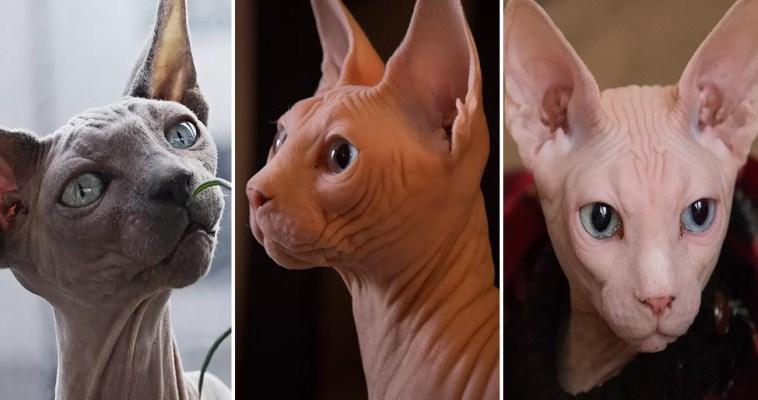 curiosidades sobre gatos sphynx