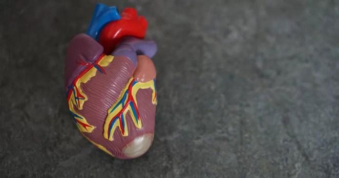 curiosidades sobre o coração humano incrível