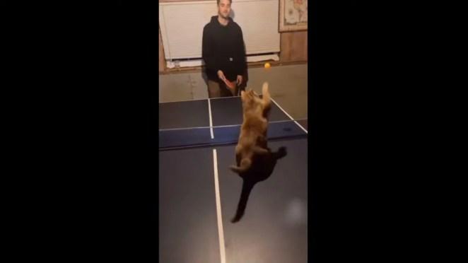 Gatinho vence o dono no tênis de mesa em vídeo que ganhou o mundo