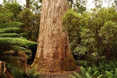 10 das maiores árvores do mundo » Curiosidades
