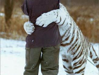 Tigre Blanco abrazando