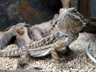 Curioso Dragon Barbudo.