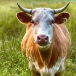 Pakistán: Una vaca ataca a su verdugo cuando se disponía a sacrificarla (VÍDEO)