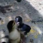 YouTube: Pollitos y patitos se enfrentan por este increíble motivo.