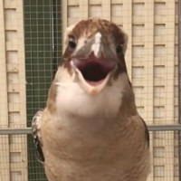 GRACIOSO VÍDEO- Cucaburra 'diabólica': Una grabación revela la espeluznante risa de esta especie australiana