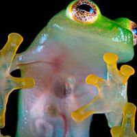 Las ranas de cristal reaparecen en Bolivia