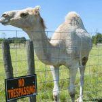 Mujer salva su vida al morder los testículos de un camello