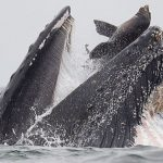 Un león marino escapa de la boca de una ballena