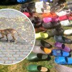 Zorro roba un centenar de zapatos