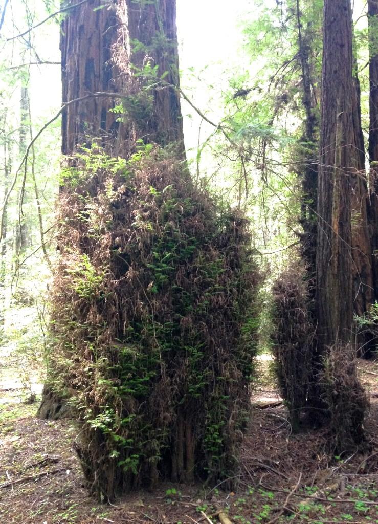 Witch's Broom redwood
