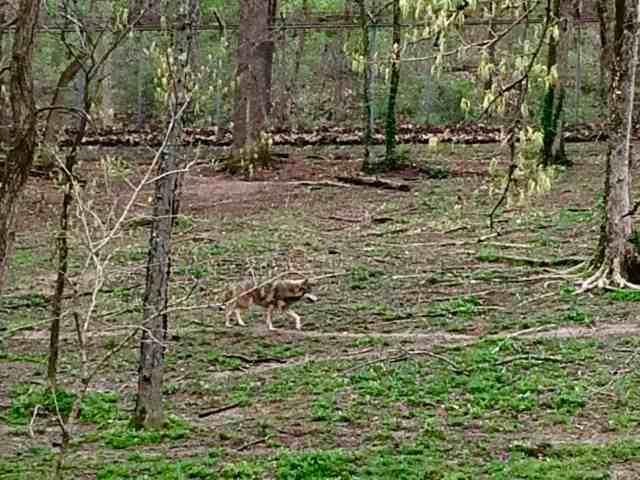 Endangered Wolf Center, MO, family fun in Saint Louis