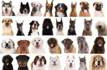 faces of 30 different dog breeds