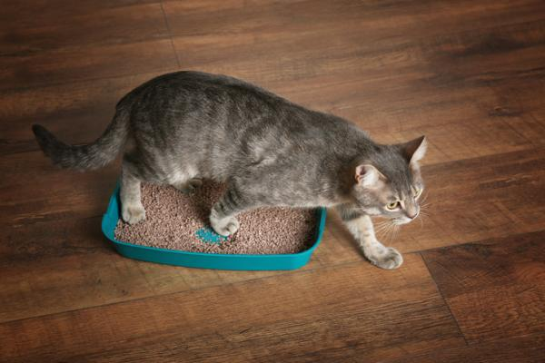 A gray Tabby cat walking out of a litter box