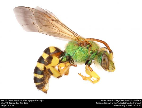 A multicolored (yellow, blue, green and black) bee of the family Halictidae